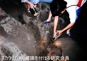 アカウミガメに標識を付ける研究会員