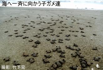 海に向かう子ガメ
